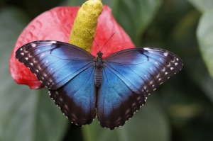 blue-morpho-784979_1920